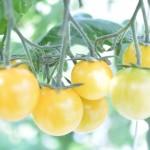 おもいろトマト栽培 (18)