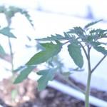 おもいろトマト栽培 (29)